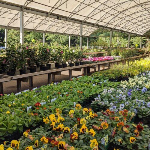 pansies plants for sale in garden centre Lasham, Alton