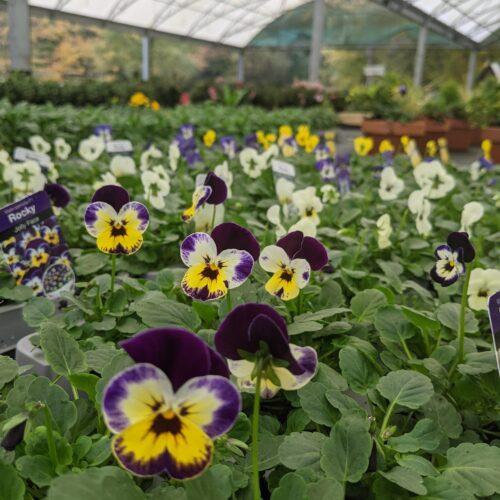Pansy up close, plants for sale at Garden centre Lasham, Alton