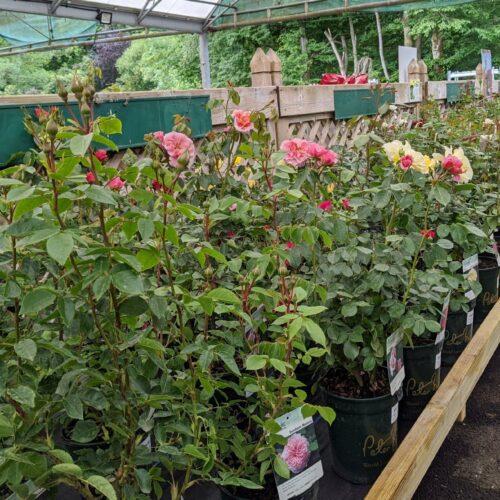 rose plants for sale at Avenue Nurseries garden centre, Alton